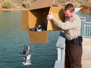 Thousands of migratory birds make crash landing in Cedar City