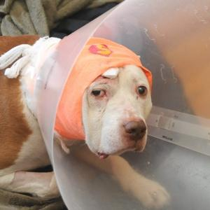 Pit bull protects owner, takes bullet to head