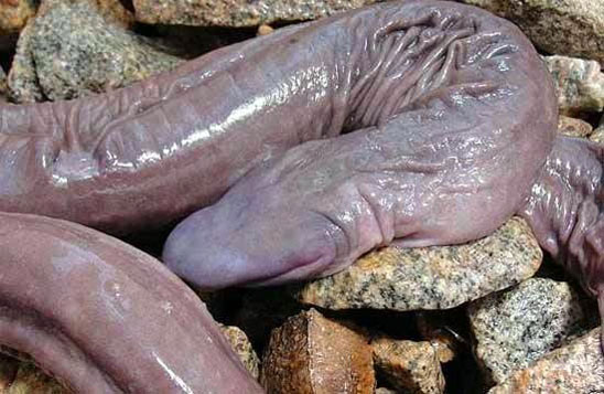 "Yuck:  A Snake Named After of a Man's ""Special Organ"""