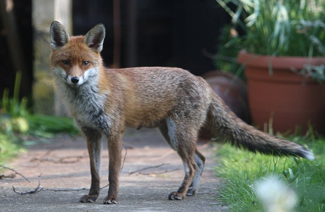 Fox bites off baby's finger as he sleeps: Mother fights off animal in bedroom after finding one-month-old's hand 'halfway down its throat'