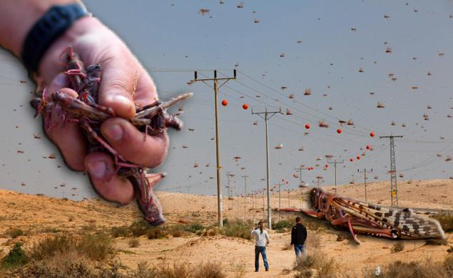 Thousands of locusts swarm over Israel, Egypt — just in time for Passover