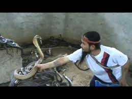 Cobra SLAP.Man Selecting Cobras For Snake Show