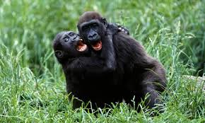 "2 Gorillas ""going at it"" 69 style!"