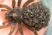 JUSTKHAOTIC! Female Wolf Spider With Babies On Her Back!